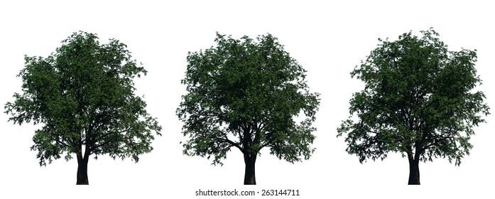 Three Pecan Trees