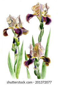 three purple-yellow iris on stems with buds isolated on a white background, watercolor
