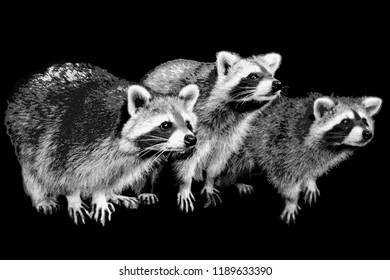 three raccoons stand side by side on a black background