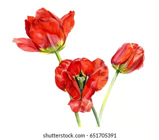 Three red Tulip. Sketch. Watercolor hand drawing illustration, isolated
