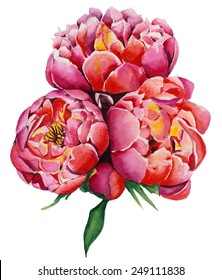 Three watercolor pink peonies
