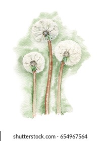 Three white dandelions. Watercolor painting.