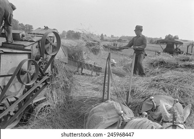 Threshing wheat in central Ohio. A farmer forks wheat into the feeding belt of stationary threshing machine. He stands on a horse drawn wagon loaded with cut grain from the nearby field. August 1938.