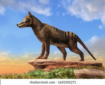 Thylacine was the largest carnivorous marsupial. Now extinct, the last known died in 1933 in Tasmania. Also known as a Tasmanian tiger or wolf. 3D Rendering