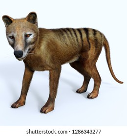 Thylacine Marsupial 3D illustration - The Thylacine marsupial was an extinct predator from the Holocene Period of Australia, Tasmania, and New Guinea.