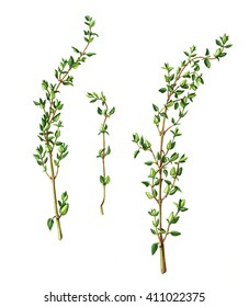 Thyme Stems and Leaves Pencil Drawing Isolated on White