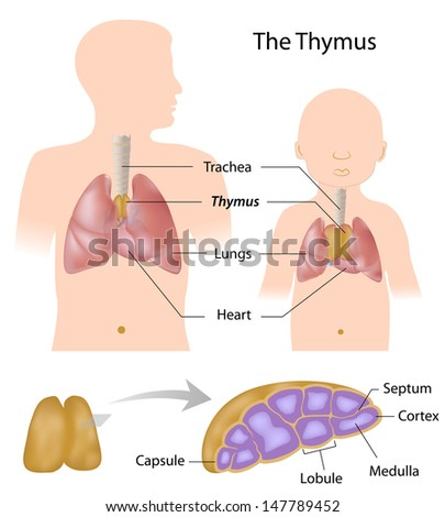 Thymus Gland Anatomy Stock Illustration 147789452 - Shutterstock