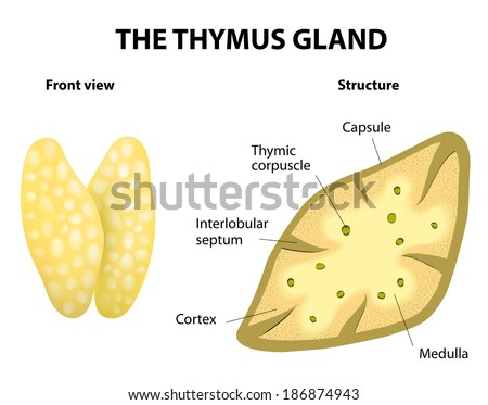 Thymus Structure Diagram Gland Lies Thoracic Stock Illustration