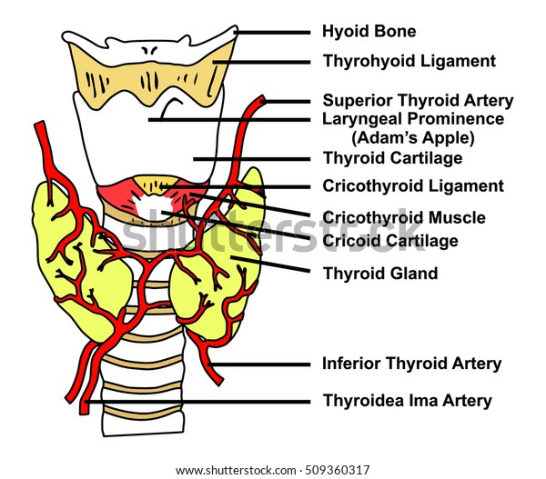 Thyroid Gland Anatomical Structure Arteries Supply Stock