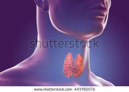 Thyroid Gland Inside Human Body 3 D Stock Illustration 641982076 ...