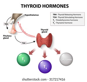 thyroid hormones. Human endocrine system.