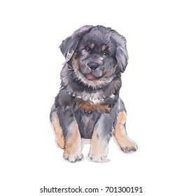 Tibetan mastiff. Watercolor painting.