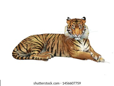 TIGER COLOUR PENCIL DRAWING ON WHITE BACKGROUND