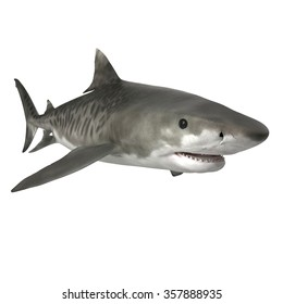 Tiger Shark Isolated on White Background