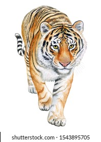 Tiger walking in Front isolated on white background. Watercolor. Illustration. Template. Hand drawing.
