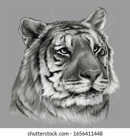 Tiger`s head isolated on gray background. Pencil drawing, monochrome image