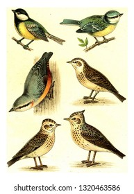 Tit, Nuthatch, Woodlark, Blue Tit, Skylark, Crested Lark, vintage engraved illustration. From Deutch Birds of Europe Atlas.