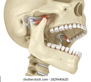 TMJ: The temporomandibular joints. Healthy occlusion anatomy. Medically accurate 3D illustration of human teeth and dentures concept