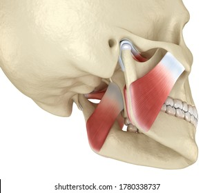 TMJ: The temporomandibular joints and muscles. Medically accurate 3D illustration.