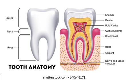 Tooth anatomy dental infographics. Medical banner or poster illustration