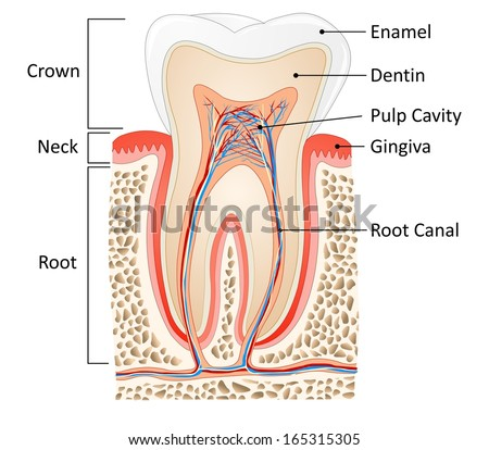 Tooth Medical Anatomy Words Stock Illustration 165315305 - Shutterstock