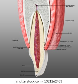 tooth and periodontium anatomy. Sectional human central incisor showing the anatomical structures that form the dental tissue and the periodontal tissues. Infographic, 3D illustration with subtitles