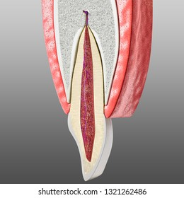 tooth and periodontium anatomy. Sectional human central incisor showing the anatomical structures that form the dental tissue and the periodontal tissues. Infographic, 3D illustration
