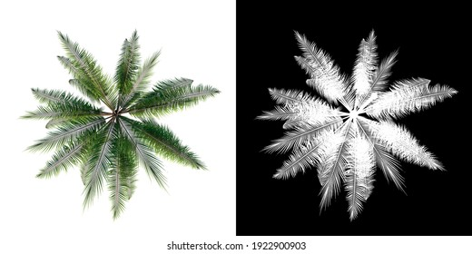 Top view of Plant ( Coconut Palm  1) Tree png with alpha channel to cutout made with 3D render