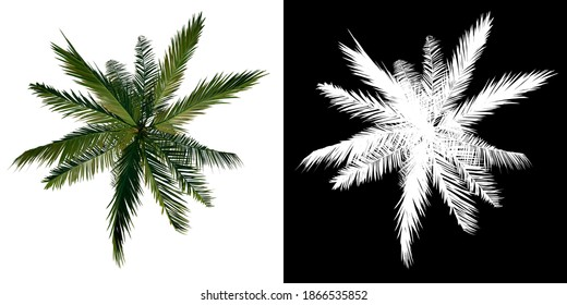 Top view tree (Adolescent Coconut Tree Palm 2) white background alpha png 3D Rendering 3D Ilustracion