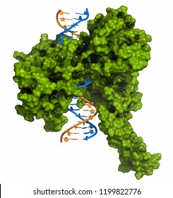 Topoisomerase I (topo I) DNA binding enzyme. Target of a number of chemotherapy drugs used against cancer. 3D rendering. Cartoon representation (DNA) combined with surfaces (protein).