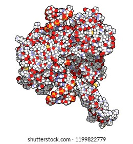 Topoisomerase I (topo I) DNA binding enzyme. Target of a number of chemotherapy drugs used against cancer. 3D rendering. Atoms are represented as spheres with conventional color coding.