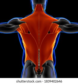 Torso Muscle Anatomy For Medical Concept 3D