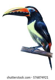 Toucan Aracari bird drawing