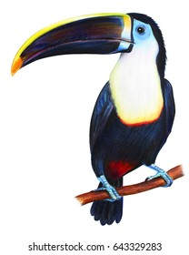 Toucan detailed drawing (Ramphastos culminatus)
