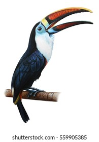 Toucan drawing on white background (Ramphastos tucanus)