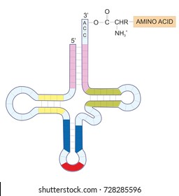 A transfer RNA is a molecule composed of RNA. tRNA is carrying an amino acid to the ribosome and is a component of protein translation. No text in this picture.
