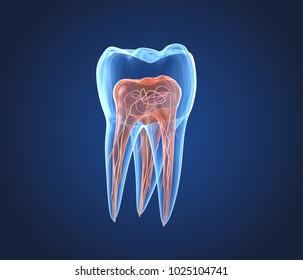Transparent teeth. 3d renderings of endodontics inner structure
