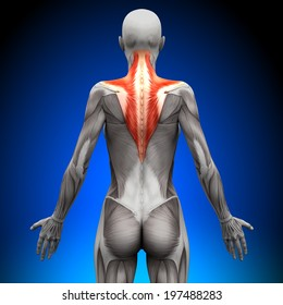 Trapezius - Female Anatomy Muscles