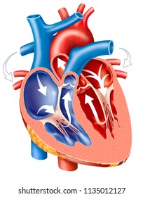 Travel of the blood inside the heart, descriptive scheme
