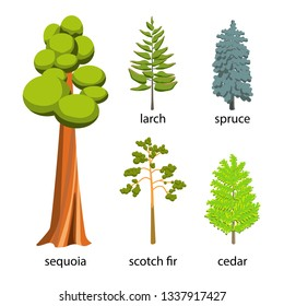 Tree icon set - Coniferous Trees cartoon illustration. Flat Coniferous Trees collection: big sequoia, spruce, larch, scotch fir and cedar for web. Illustration isolated on white background