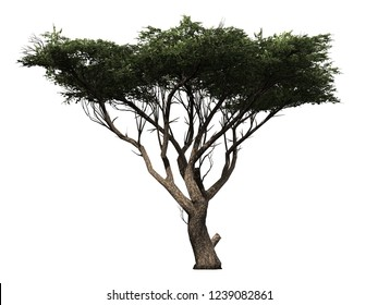 Tree isolated on a white background,  green Acacia tree used for design, advertising and architecture work - photo real 3d render