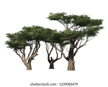 Trees in a group isolated on a white background,  green Acacia trees used for design, advertising and architecture work - photo real 3d render