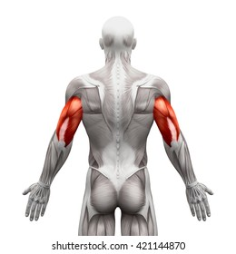 Triceps - Anatomy Muscles isolated on white - 3D illustration