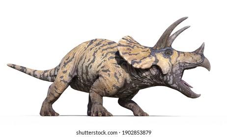 Triceratops, dinosaur reptile roars, prehistoric Jurassic animal isolated on white background, 3D illustration