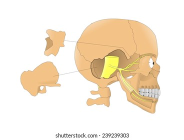 Trigeminal nerve, fifth pair of the cranial nerves