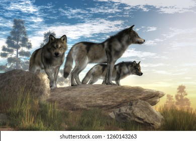 A trio of timber wolves stands atop a boulder looking out over a North American wilderness.  The alpha wolf stands confidently looking into the distance while look to the sides . 3D Rendering