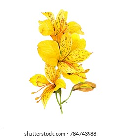 tropic yellow flower Alstroemeria aurea and peruvian lily watercolor isolated on white background