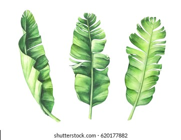 Tropical banana leaves set. Hand drawn watercolor illustration.