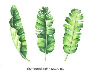 Tropical banana leaves set. Hand drawn watercolor illustration.