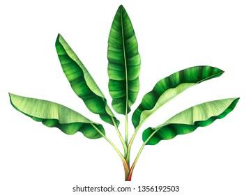 Tropical banana tree. Hand drawn watercolor illustration.